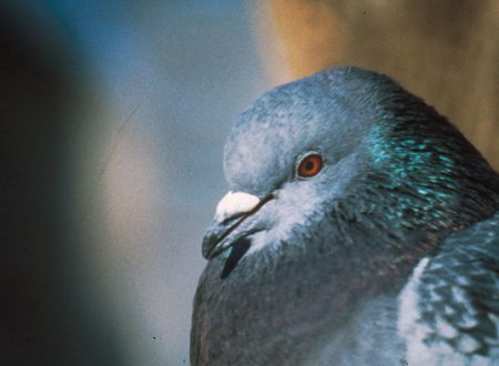 Viterbo: Misure per controllare le popolazioni dei piccioni di città