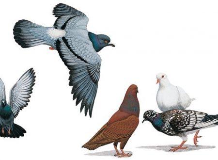 Domande e risposte sui piccioni